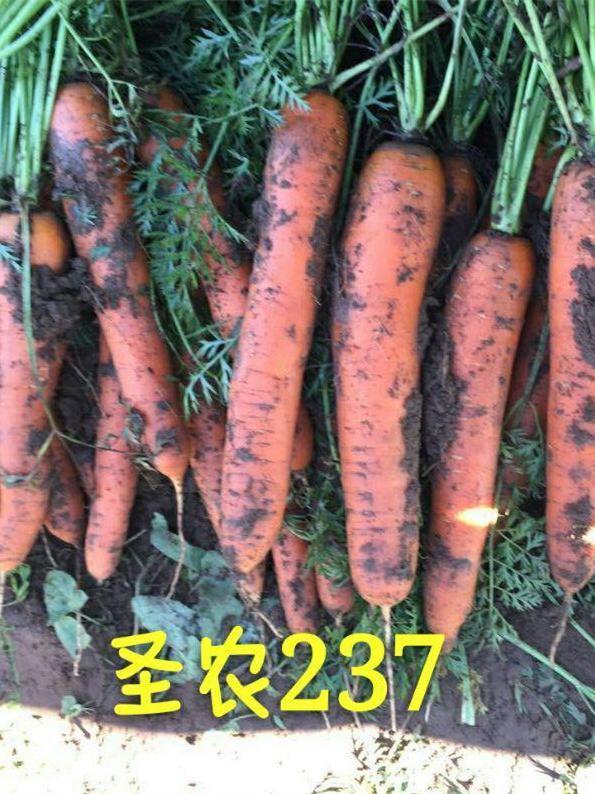 圣农胡萝卜237